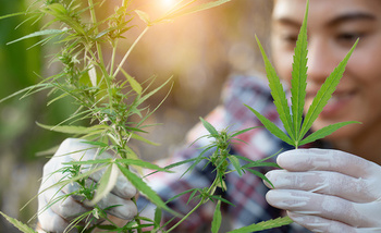 Farmers grew more than 78,000 acres of hemp in the United States in 2018, but it's still too soon for Ohio farmers to jump onto the bandwagon. (Adobe Stock)