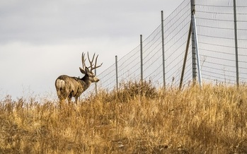 A Colorado mule deer is blocked by range fencing. A new state program is designed to have state agencies coordinate with federal and local governments and others to keep clear and preserve the state's migration corridors. (AdobeStock)<br /><br />