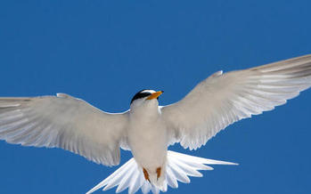 A least tern in Flight. (Rick Lewis, Audubon Photography Awards)