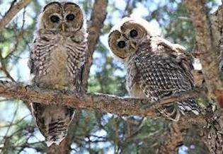 The Mexican spotted owl, found in several Western states including New Mexico, was first listed as threatened in the United States in 1993. (nps.gov)