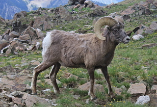 Loss of habitat makes it more difficult for animals such as bighorn sheep to use historic migration routes in New Mexico. (commons.wikimedia.org)