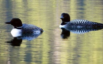 Audubon Minnesota wants more people to monitor bird species like the loon as they try to protect them from the possibility of extinction. (National Park Service)