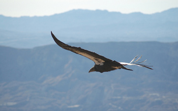 The California condor is one of the Golden State's best known endangered species. (USWFS)