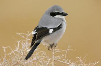 New Mexico's masked black, white and gray loggerhead shrike is recognized as a