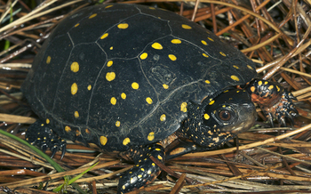 Spotted turtles, once common, are no longer found in areas of southern New York. (Todd Pierson/U.S. Fish and Wildlife Service)