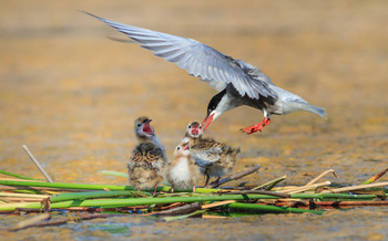 As water temperatures rise, some shorebirds can't find enough of the fish they need to feed their young. (porojnicu/Adobe Stock)