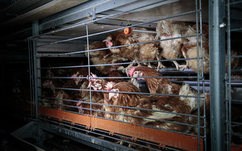 Chickens are commonly kept in battery cages about the size of a large microwave that fits six to eight birds. (Colony Cages)