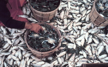 The federal government has ordered more protections for Virginia's menhaden fish population. (NOAA)