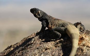 The chuckwalla is an example of the type of species wildlife officials say they would protect with funds from the Recovering America's Wildlife Act. (JTNP/Wikimedia)