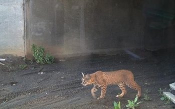 Experts say California needs a lot more wildlife crossings such as this one to reduce the number of vehicle collisions and reconnect habitats fragmented by roads, advocates say. (Calif. Dept. of Fish and Wildlife)