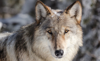 The reintroduction of wolves in Yellowstone National Park led to improved waterway habitat, declining coyote and elk numbers, and an increase in beavers, birds, willow and aspen. (NPS)