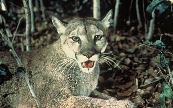 Panthers are solitary, elusive animals that are rarely observed in the wild. Fewer than 200 Florida panthers remain in their wild habitat today. (Wikipedia)