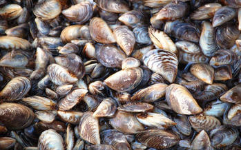 Minnesota officials say the presence of zebra mussels has been confirmed in 214 lakes and wetlands. (U.S. Fish and Wildlife Service)