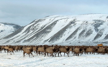 Elk at winter feedlots are at risk of chronic wasting disease, which assaults the central nervous systems of elk, deer and moose, resulting in brain lesions, behavioral changes, a loss of body condition, and always death. (USFWS)
