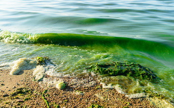 Algal blooms can cause fish kills and produce conditions that are dangerous to humans. (smspsy/Adobe Stock)