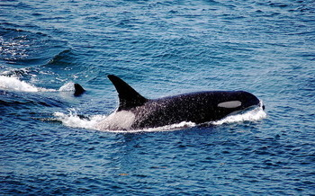 Dwindling salmon numbers in the Pacific Northwest have hit Southern Resident orca populations hard. (j.c. winkler/Flickr)