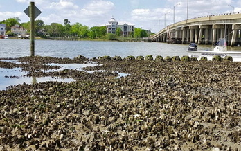 Oysters on Virginia's Lafayette River help maintain clean water on the Chesapeake Bay watershed. (Chesapeake Bay Foundation)