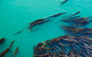 The collapse of kelp forests on the West Coast threatens many commercially important fish species. (Luke McGuff/Flickr)