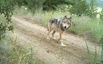 Nine Washington state wolves were removed because of conflicts with livestock in 2019. (WDFW/Flickr)