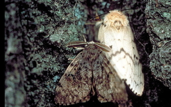 Folks in Maryland need to look out for European Gypsy moths before they damage plants and trees. (John H. Ghent/USDA Forest Service)<br /><br />