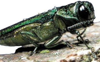 The emerald ash borer beetle is one of a few