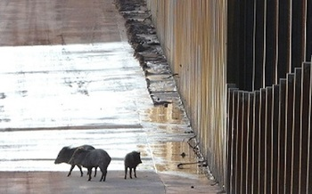 A javelina family trapped by a border wall in Arizona. (Matt Clark/Defenders of Wildlife)