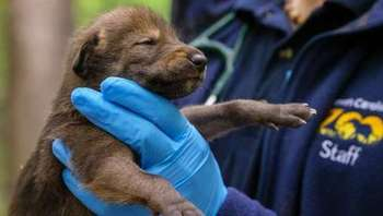 This red wolf pup, just a few days old, was born April 21 at the North Carolina Zoo. (North Carolina Zoo)<br />