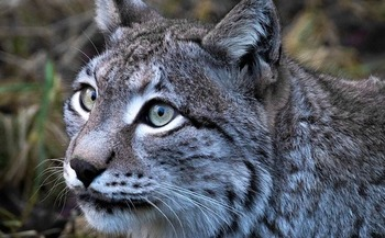 Critics say a U.S. Forest Service proposal for logging in the Medicine Bow National Forest will destroy habitat for the imperiled lynx and the elusive pine marten, a small forest carnivore in the weasel family. (Pixabay)
