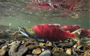 Only 14 salmon born in central Idaho's Redfish Lake returned from the ocean last year. (U.S. Fish and Wildlife Service)