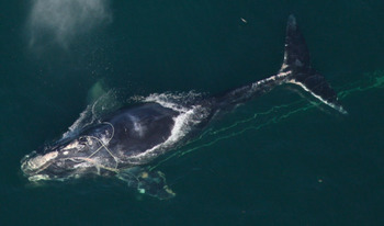 People who catch lobster for a living have opposed tighter regulations on fishing gear, even though some of the gear jeopardizes critically endangered North Atlantic right whales. (NOAA)
