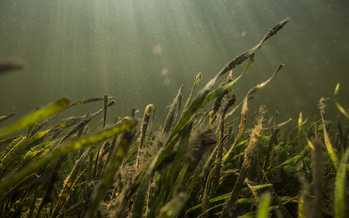 Light shines through the water onto seagrass along Florida's Nature Coast. (Charlie Shoemaker)