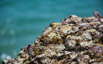 Federal funding for coastal resilience could help restore the oyster reefs that once protected New York shoreline. (kidsasarin/Adobe Stock)