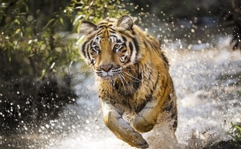 Project CAT is conserving nearly six million acres of tiger habitat in three countries. (Discovery, Inc. 2018)