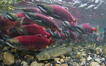 The sockeye salmon runs of Bristol Bay, Alaska, are world-renowned. (BB Armstrong/The Nature Conservancy)