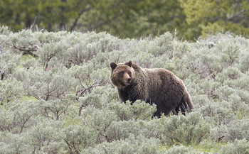 The Grizzly Bear Advisory Council will submit its final recommendations to Gov. Steve Bullock at the end of August. (Jim Peaco/Yellowstone National Park)
