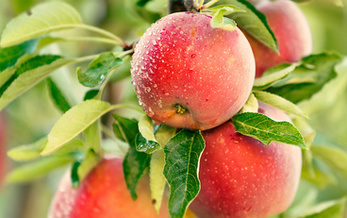 Only 15 varieties make up 90% of apple production, according to the U.S. Apple Association. (Mariusz Blach/Adobe Stock)