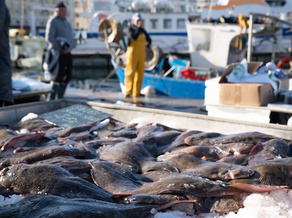 Catches of key fish stocks off the North Carolina coast have decreased by 75% or more depending on species. (Adobe Stock)