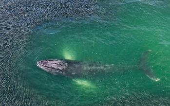 A humpback whale feeds in a school of menhaden off the coast of eastern Long Island. (Sutton Lynch/The Nature Conservancy)