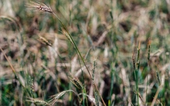 Rye is a popular cover crop in Indiana. (AdobeStock)