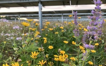 Pollinator-friendly plants, like these growing under a Minnesota solar array owned by Enel Green Power, are increasingly being used to restore bee habitats. (Fresh Energy)