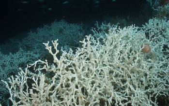 Some deep-sea corals can grow hundreds of feet tall, while others live for thousands of years. (noaa.gov)