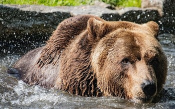 A U.S. Fish and Wildlife Service rule change would permit trapping and baiting of brown bears in Alaska's Kenai National Wildlife Refuge. (Sapphoris/Pixabay)