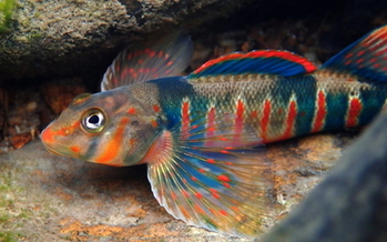 The candy darter is one endangered fish species that conservation groups want to protect from the effects of pipeline construction in Virginia and West Virginia. (Native Fish Coalition)<br /><br />