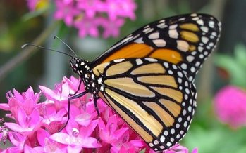 The Trump administration is delaying a decision on whether to list the monarch butterfly as threatened under the Endangered Species Act. (Pixabay)