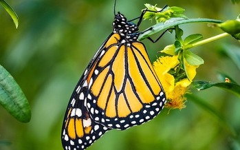 The latest status assessment says the population of monarch butterflies will continue to decline<br />unless action is taken to protect it - and the probability for extinction of the western population is high. (Icewall42/Pixabay)