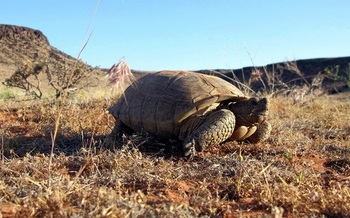 About 2,000 rare Mojave Desert tortoises are left in southern Utah's Red Cliff Desert Reserve. The reptiles are considered