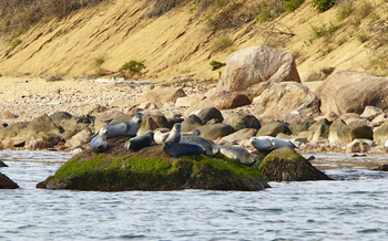 Every winter, hundreds of seals bask on the offshore rocks of Plum Island. (Robert Lorenz)