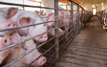 Feces and urine from hogs on industrial farms are stored in large pools called lagoons. (Adobe Stock)