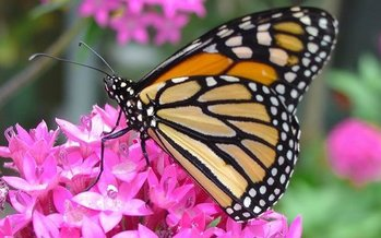 Housing and commercial development have degraded many of the overwintering sites for the annual migration of the Western monarch butterfly. (Pixabay)