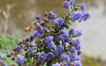 California farmers are starting to use native plants as hedgerows to attract more bees and other beneficial insects. (Michael Serrano)